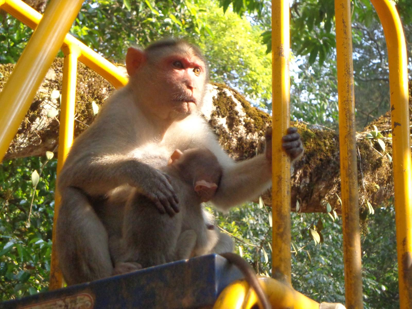 Wayanad is filled with monkeys. Here's one enjoying a slide.