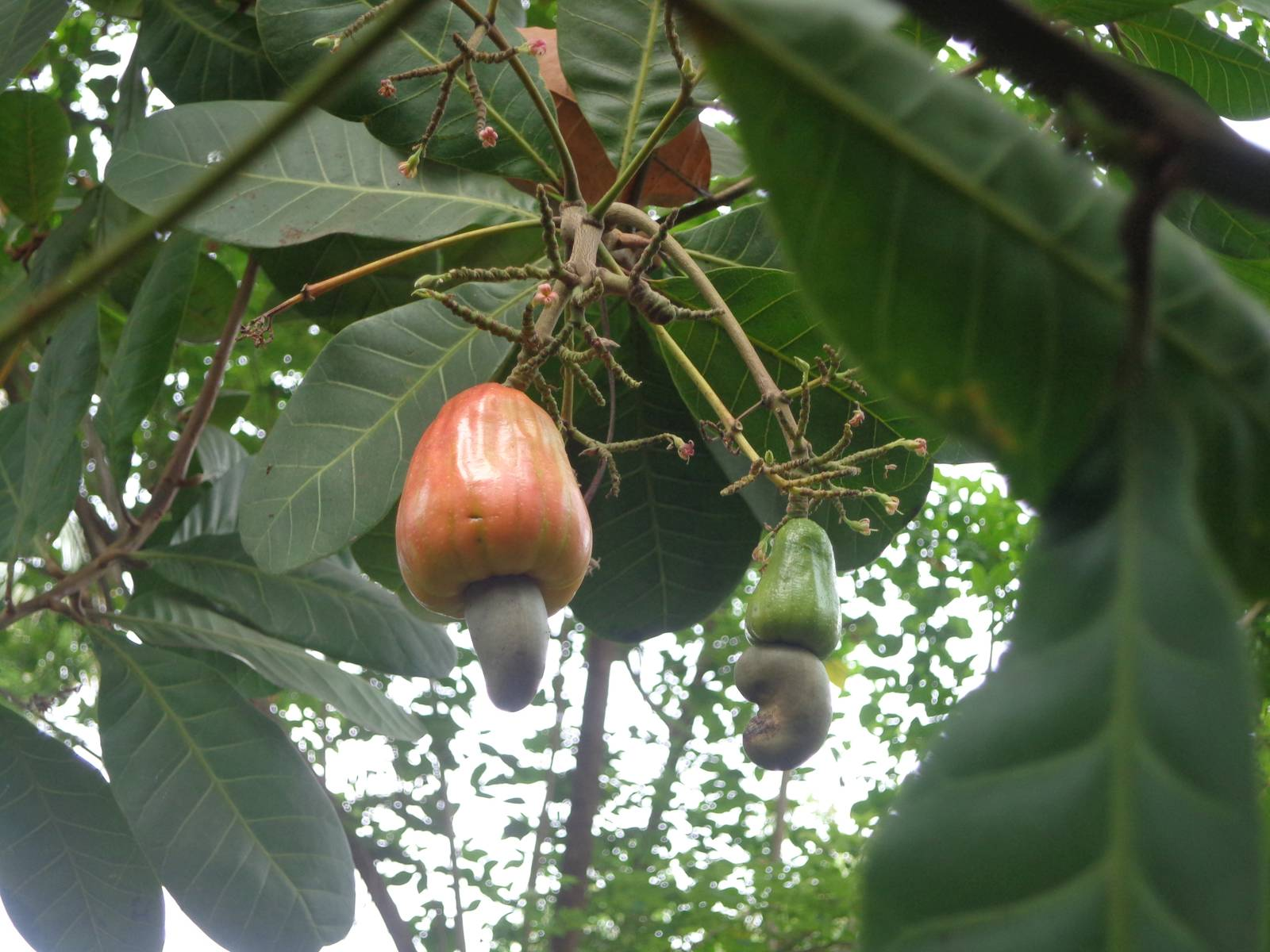 Right in front of our room there was a cashew plant. The cashew apple has a smell that is a milder variant of the Strawberry flavour of Twinings Tea that I have regularly at office.