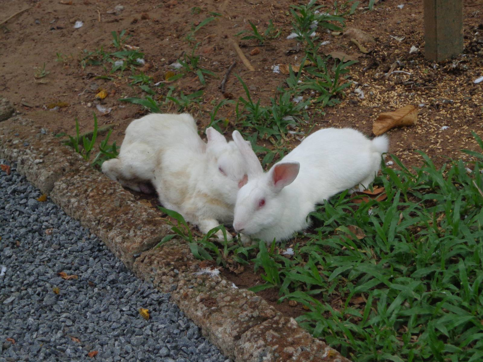 These rabbits were let loose. They are put back inside cages at the end of the day for their own safety.