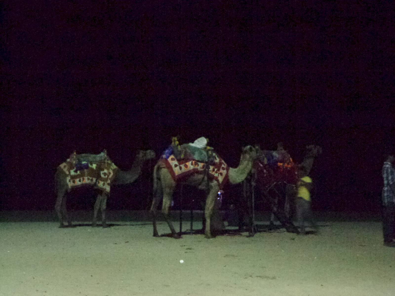 Camels at the beach.