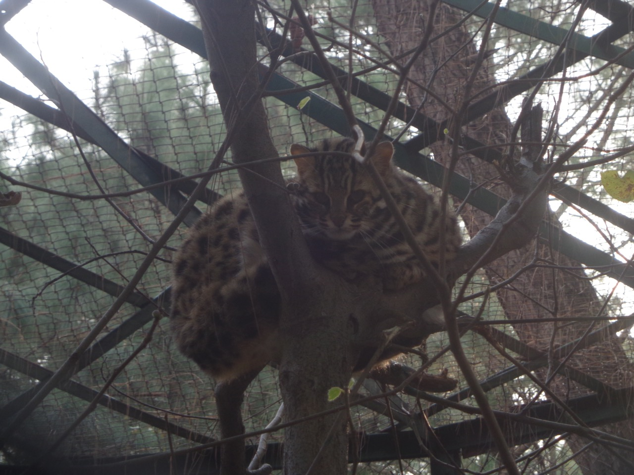 The lone Leopard Cat in the zoo.