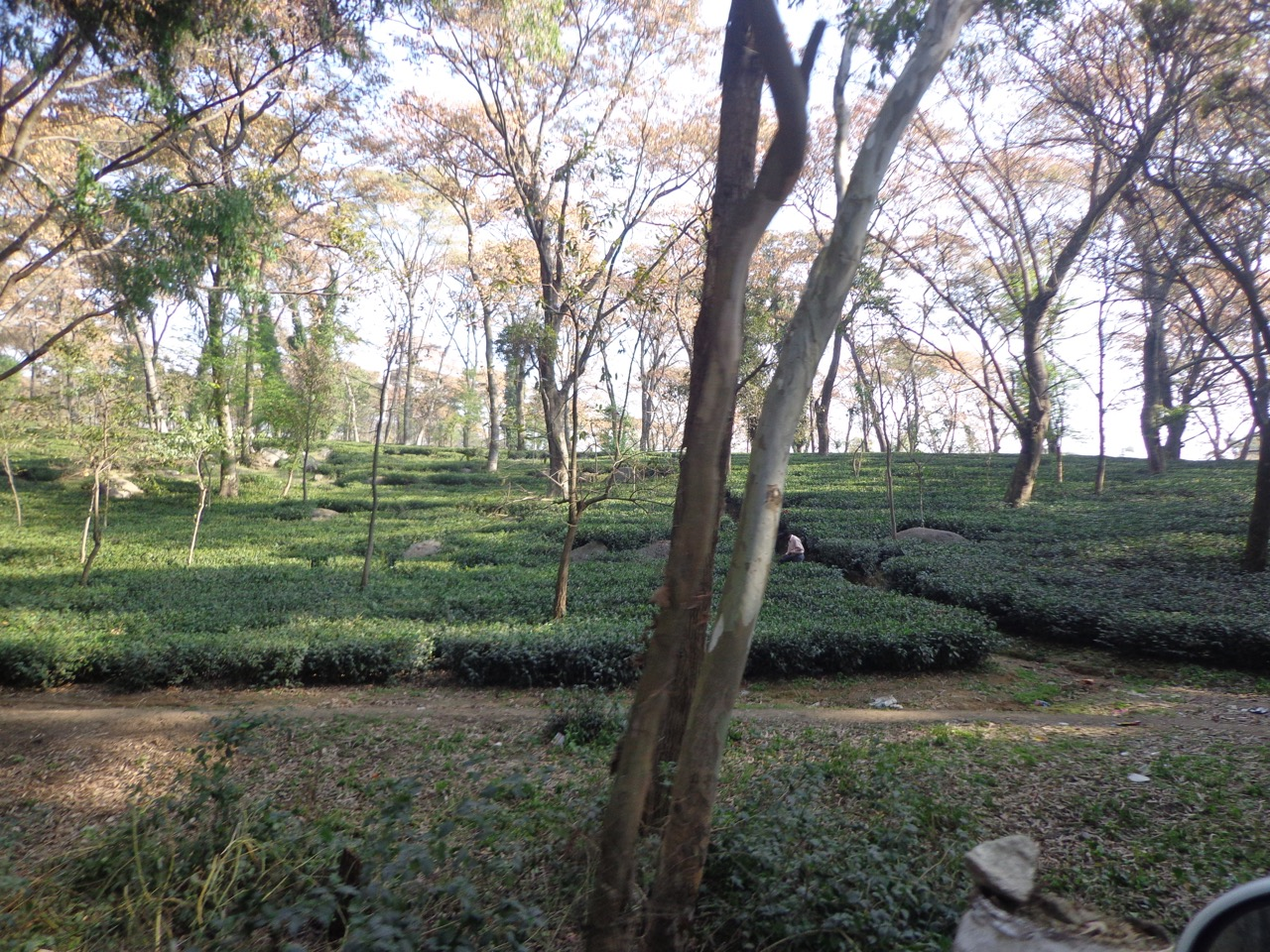 A tea garden near Palampur