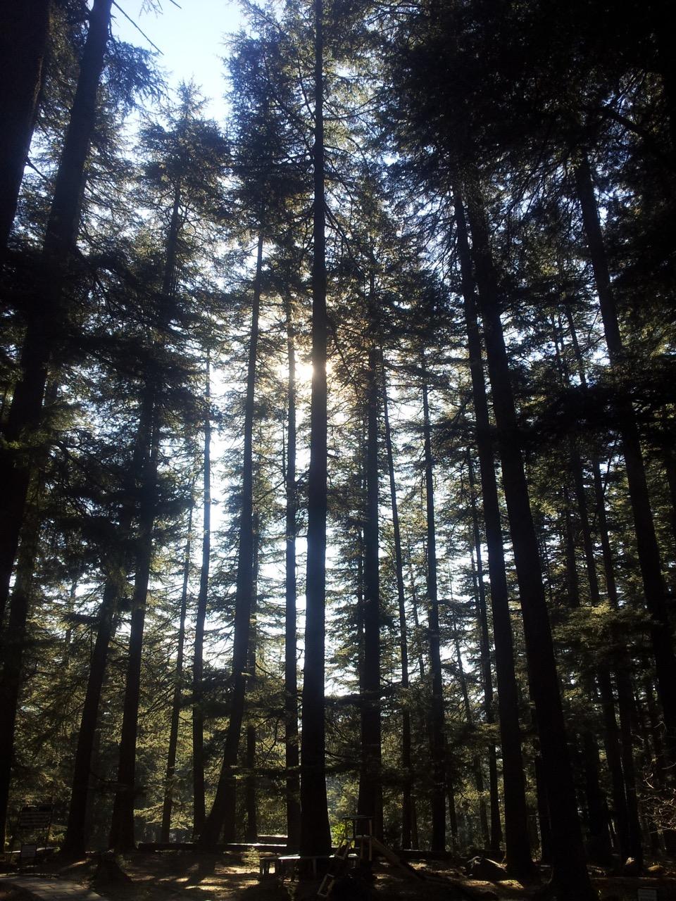 Pine (Deodar) trees inside Van Vihar.