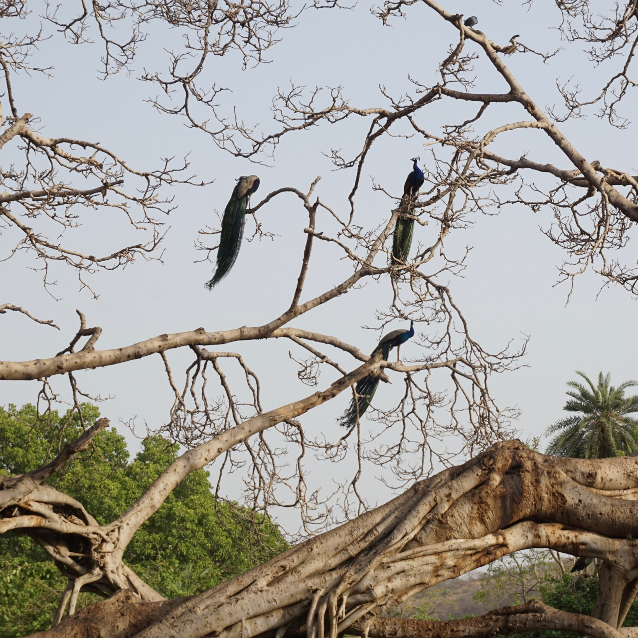 Peacocks near the fort.