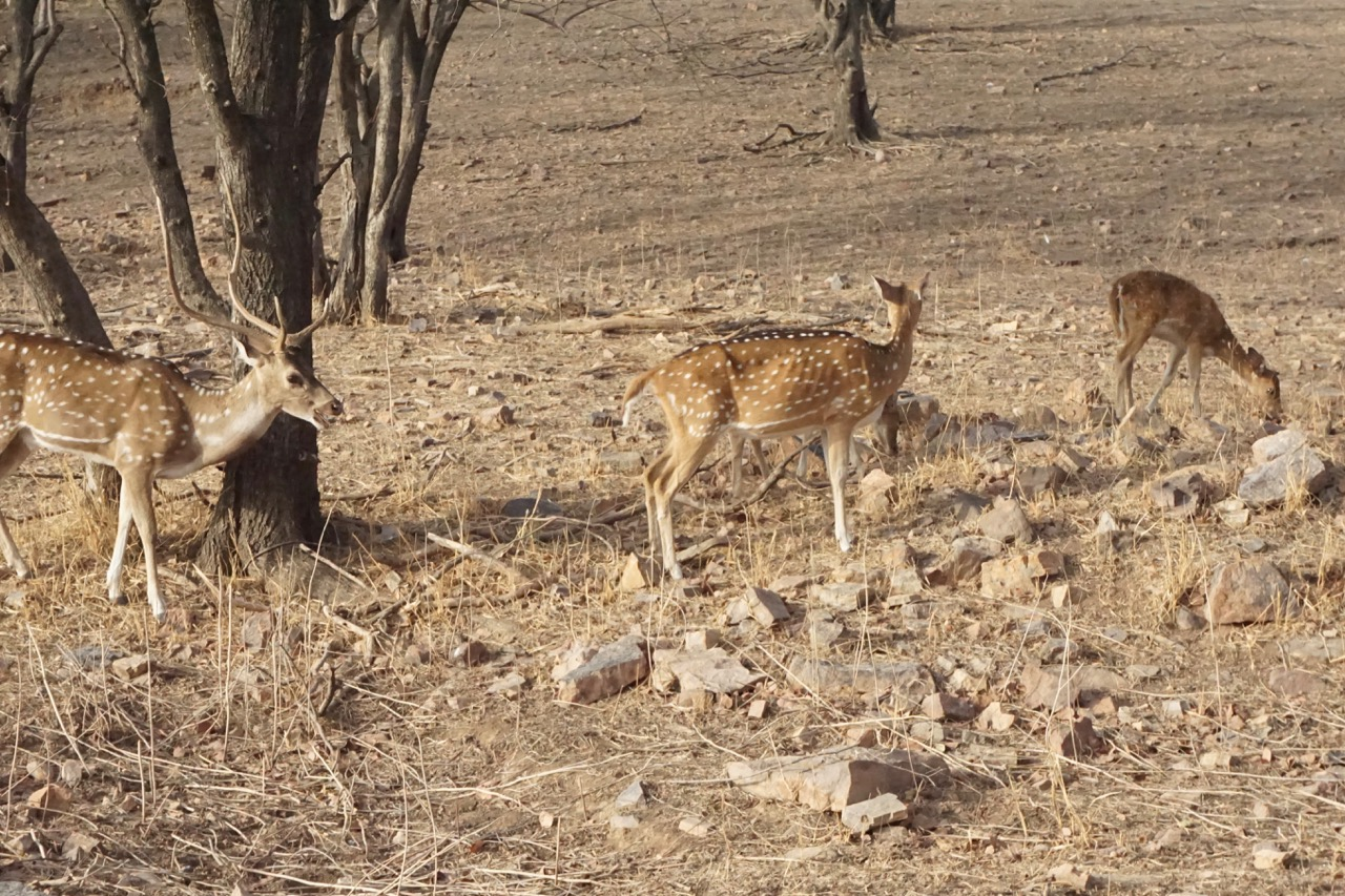 The national park has a lot of spotted deers. It was hard to shoot a proper pic on a moving vehicle.